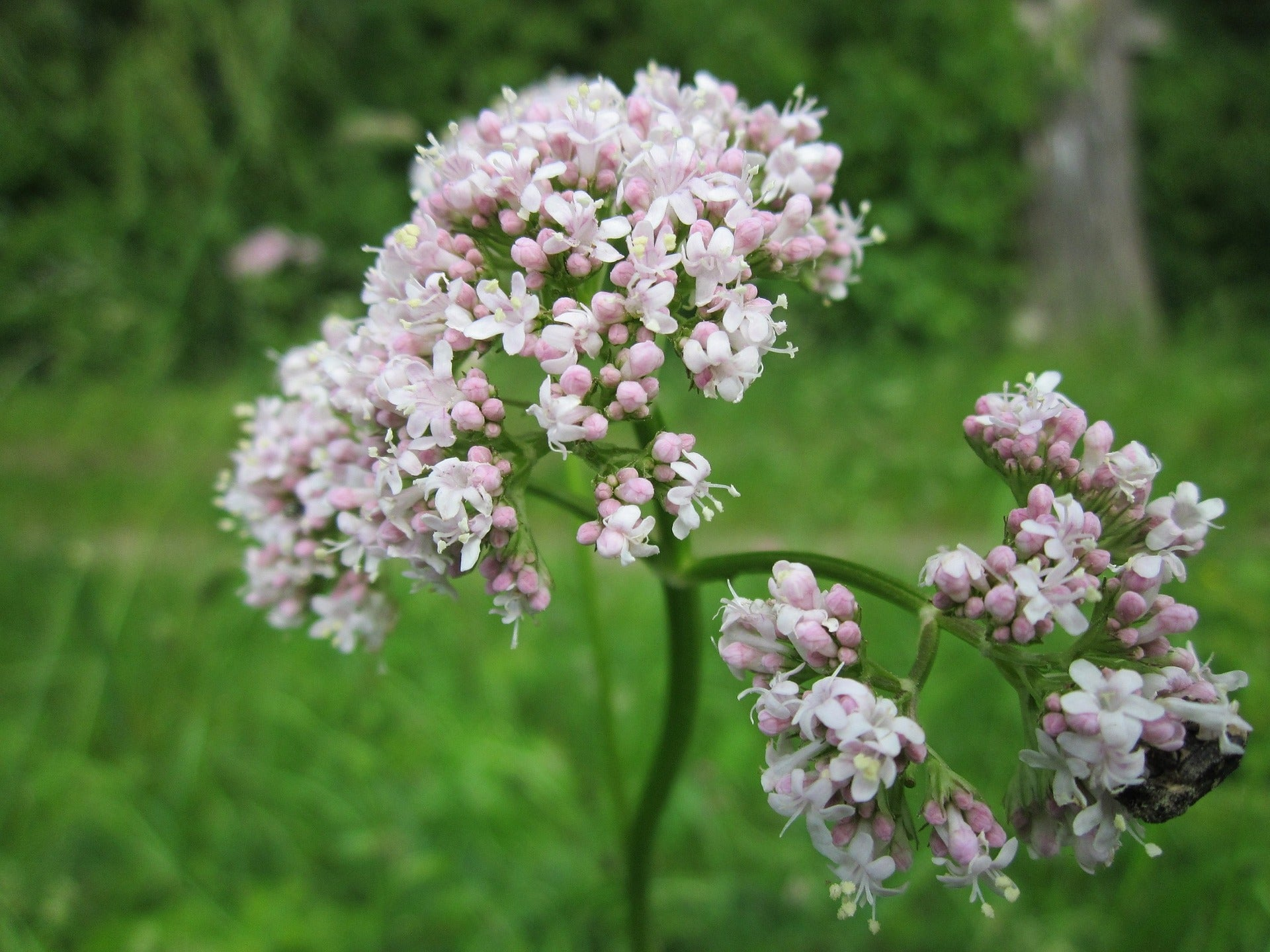 The Essential Benefits of Valerian - Uses, Doses and Interactions