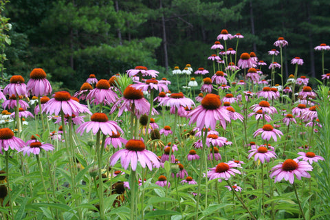 field of echinacea
