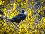 Original Photo on Canvas - Tui on Kowhai