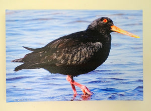 Original Photo on Canvas - Variable Oyster Catcher, Torea
