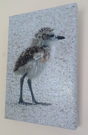 Photo on Canvas -  Dotterel Chick