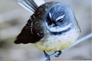 Photo on Canvas - Fantail
