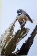 Photo on Canvas - Fantail on Tree