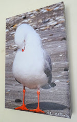 Original Photo on Canvas - Red-Billed Seagull Preening 2