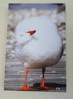 Original Photo on Canvas - Red-Billed Seagull Preening