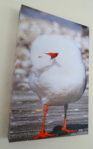 Photo on Canvas - Red-Billed Seagull Preening