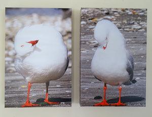 Special: Original Photos on Canvas - A Pair of Red-Billed Seagulls Preening