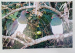 Original Photo on Canvas - Kereru, NZ Woodpigeon