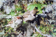 sparrows on lichen tree