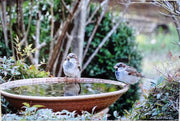sparrows on bird bath