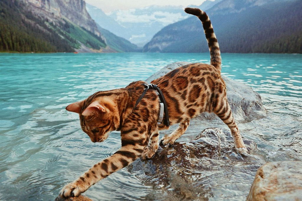 Fun Facts You Didn't Know About Bengal Cats