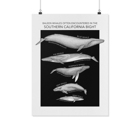 Baleen Whales Often Encountered in the Southern California Bight Art Poster