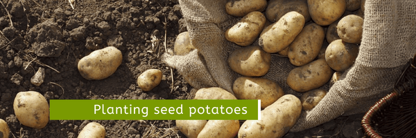 Read A Guide to Planting Seed Potatoes - Cornwall Garden Shop