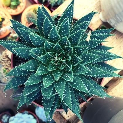 Buy Plants, Trees, Shrubs, Succulents, Airplants, Cacti and more - Chacewater & Goonhavern Garden Centre - Cornwall Garden Shop