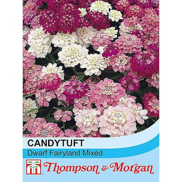 Candytuft Dwarf Fairy Mixed Flower Seeds