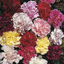 Carnation Giant Chabaud Double Mixed Flower Seeds