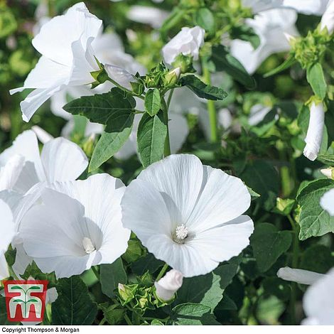 Lavatera Mont Blanc Flower Seeds