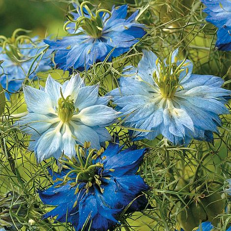 Nigella Moody Blues