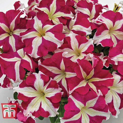 Petunia Success! HD Rose Star Flower Seeds