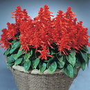 Salvia Blaze of Fire