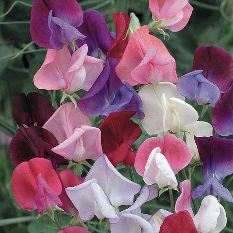 Sweet Pea Heirloom Bicolour Mix Flower Seeds