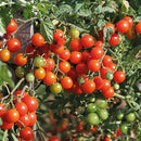 Tomato Sweet Baby Seeds