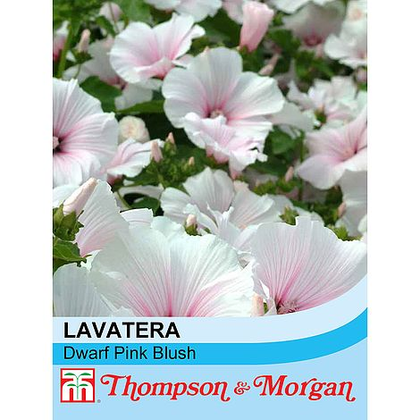 Lavatera Dwarf Pink Blush Flower Seeds