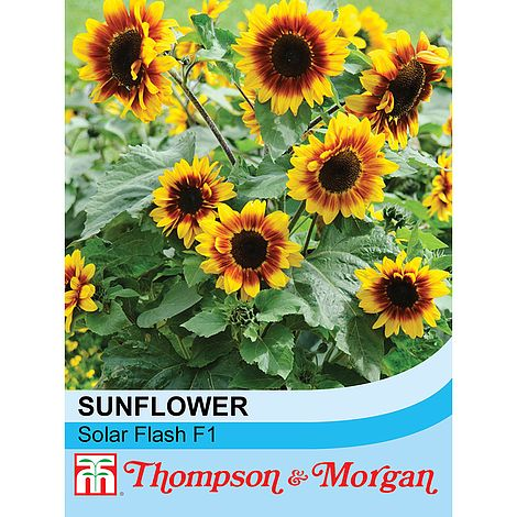 Sunflower Solar Flash F1 Hybrid