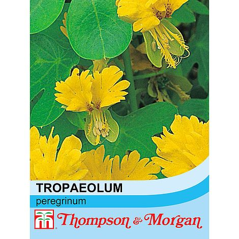 Canary Creeper (Tropaeolum Peregrinum) Flower Seeds