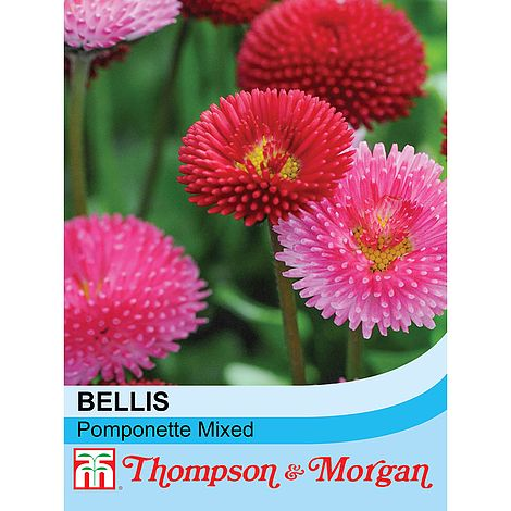 Bellis Pomponette Mixed Flower Seeds