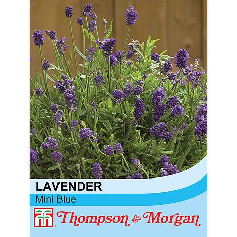 Lavender Mini Blue Flower Seeds