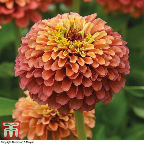 Zinnia Queeny Mixed