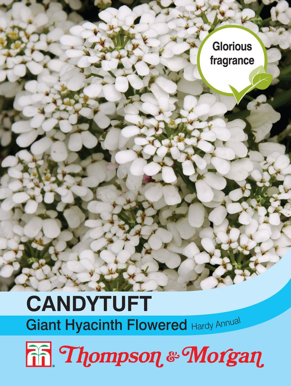 Candytuft Giant Hyacinth Flower Seeds