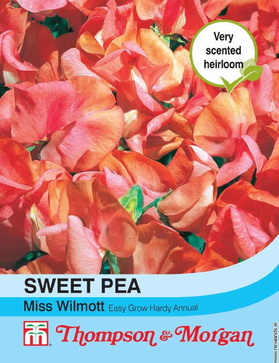 Sweet Pea Miss Willmott