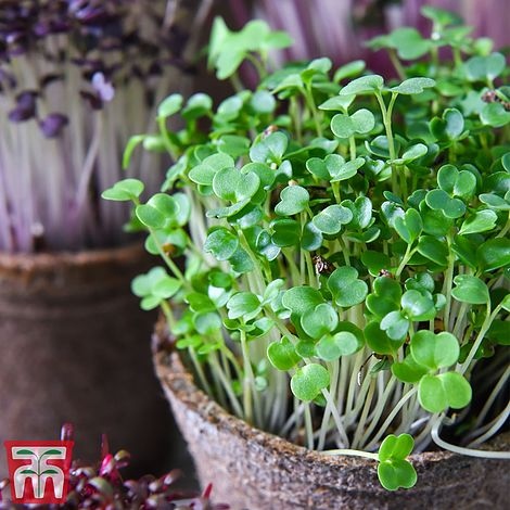 Microgreens Broccoli Green