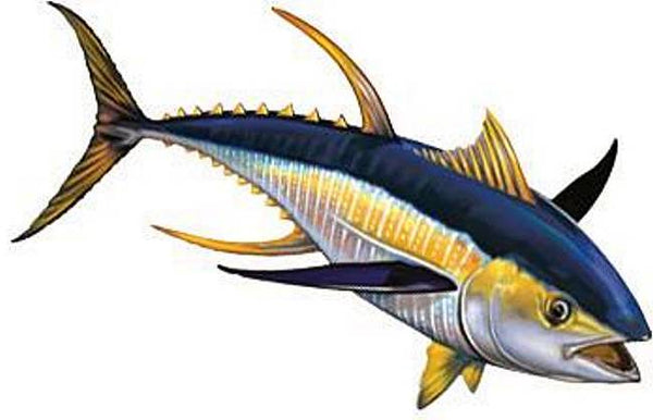 Yellowfin Tuna Right - Two Sizes and Shadow