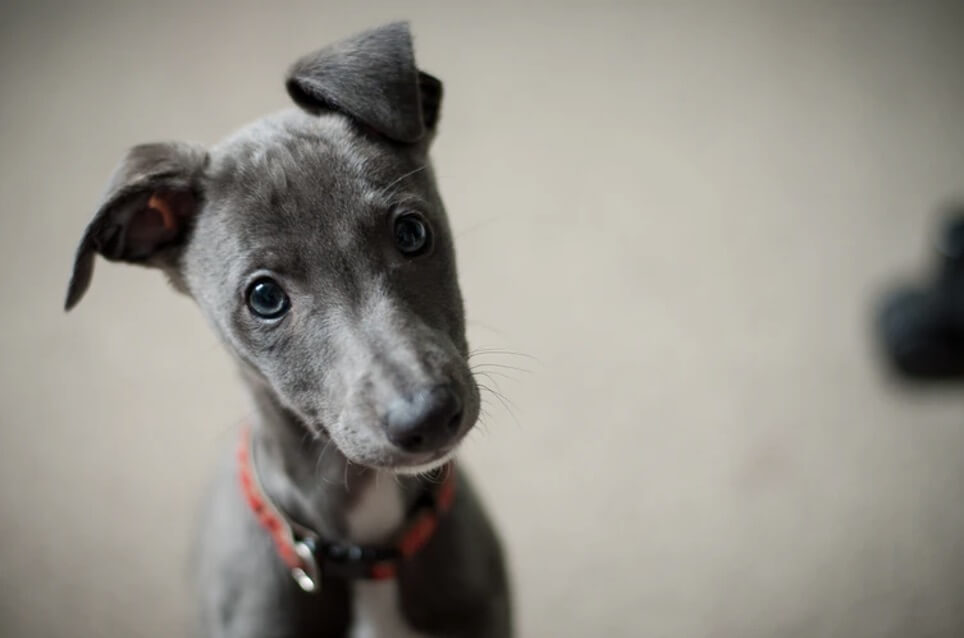 Little grey puppy