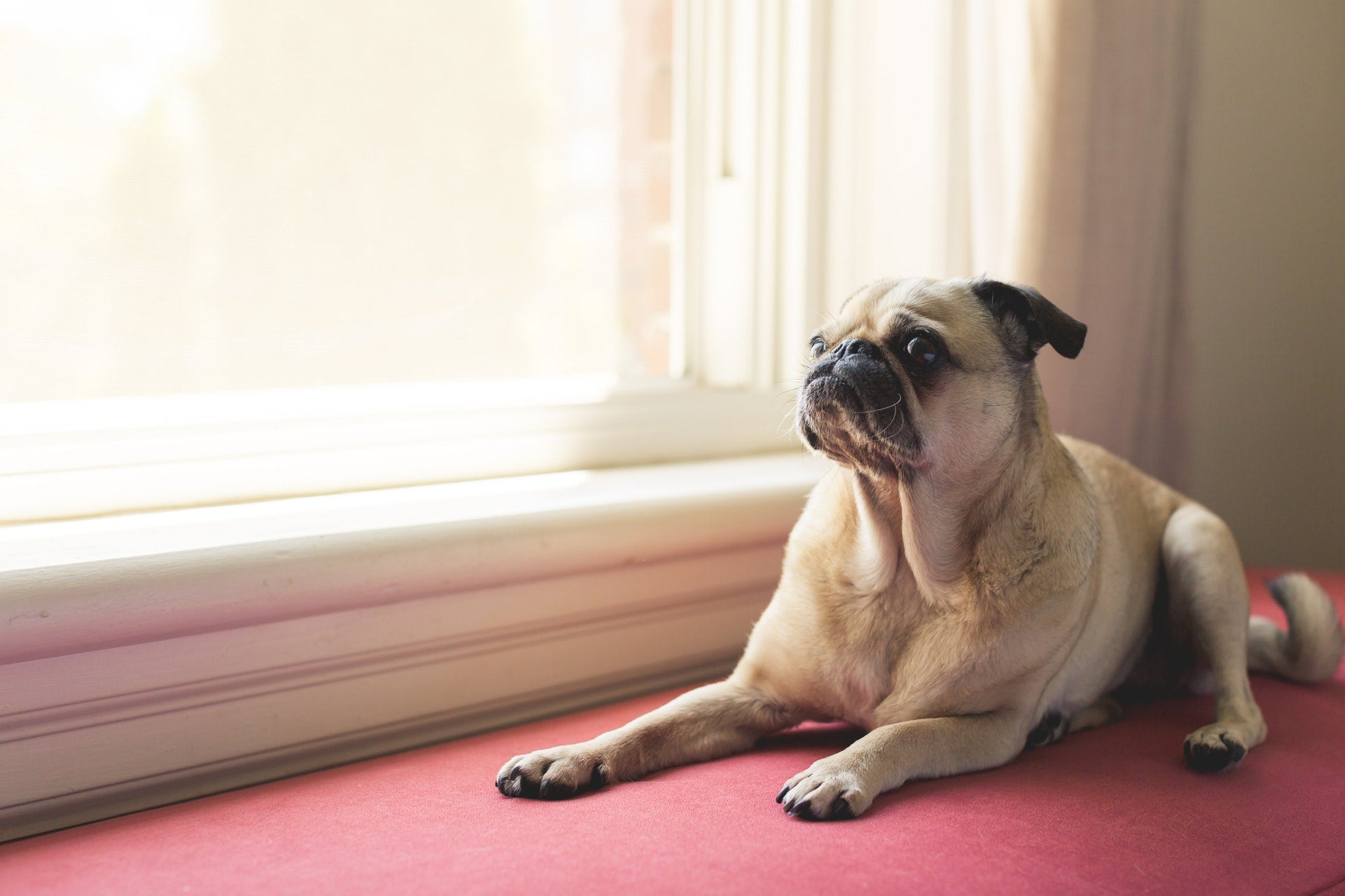 Sad Pug sitting at window