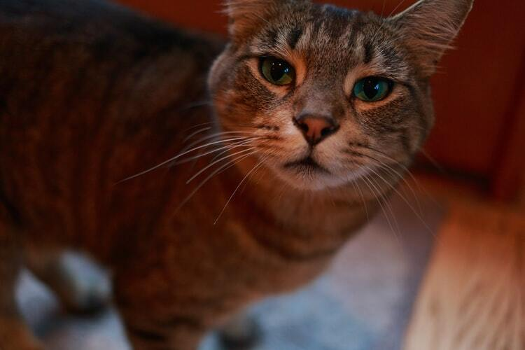 tabby cat looking at camera