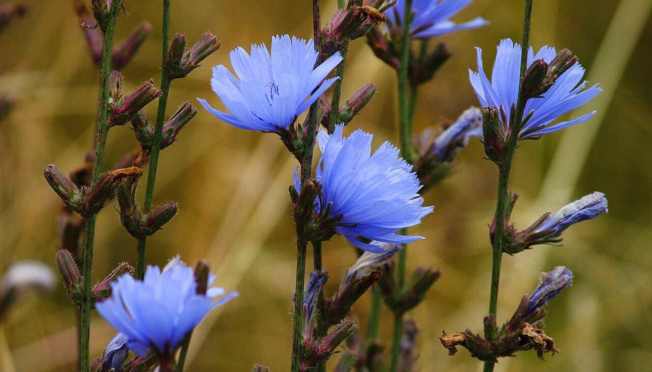 The 'Miracle' Blue Flower That Can Boost Your Dog's Gut Health!