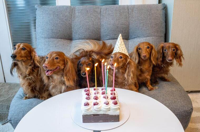 Long haired dachshund with birthday cake