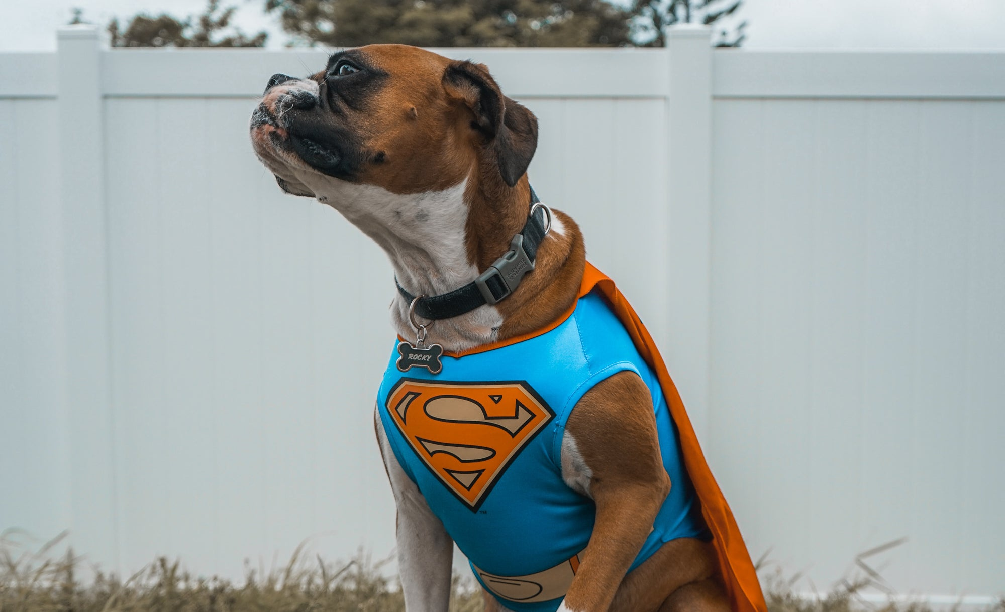 Boxer in Superman outfit