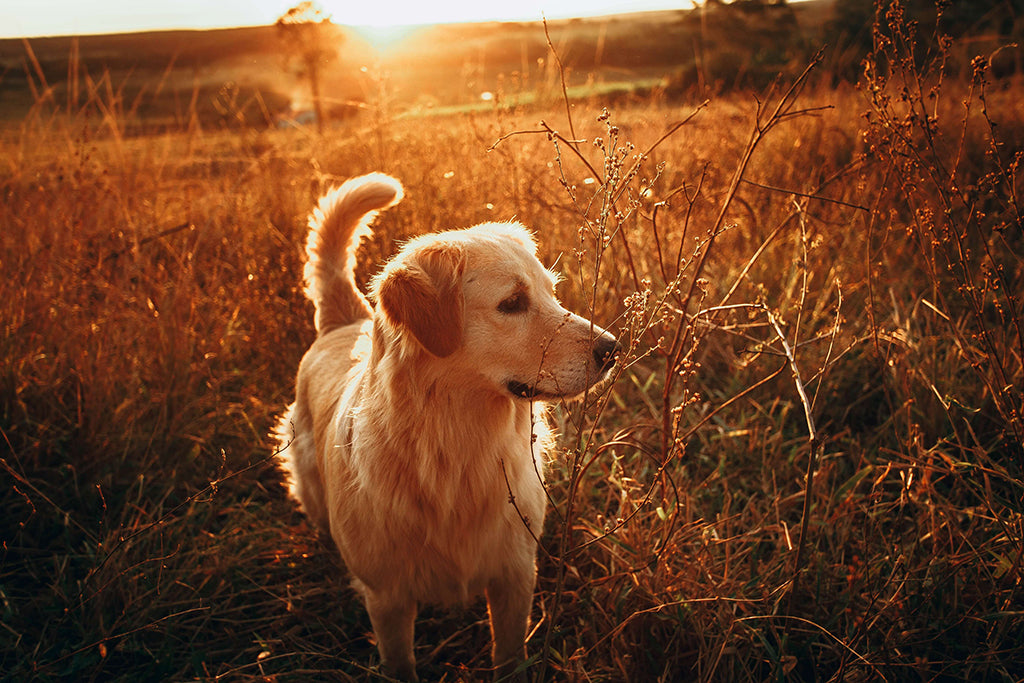 golden retriever in the sunset