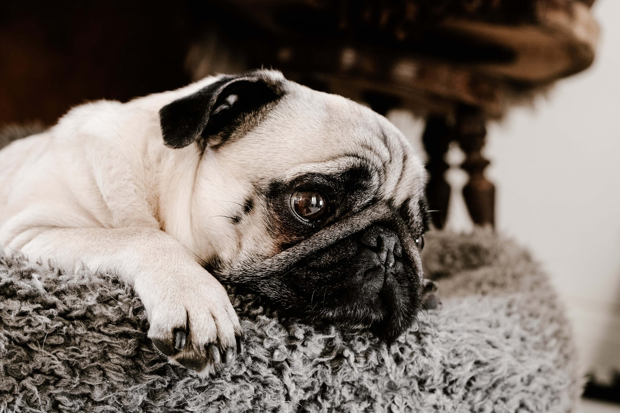 sad pug dog on fluffy pillow