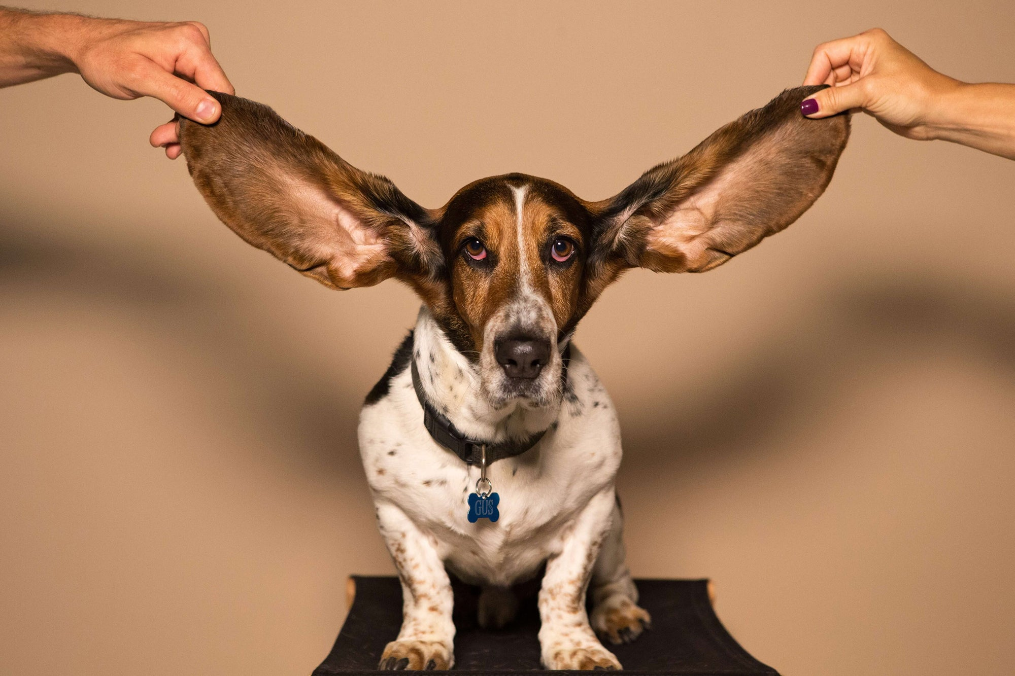 basset hound with ears held in the air