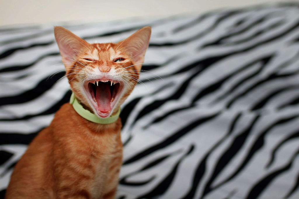 3 Easy Way To Look After Your Cat's Teeth!