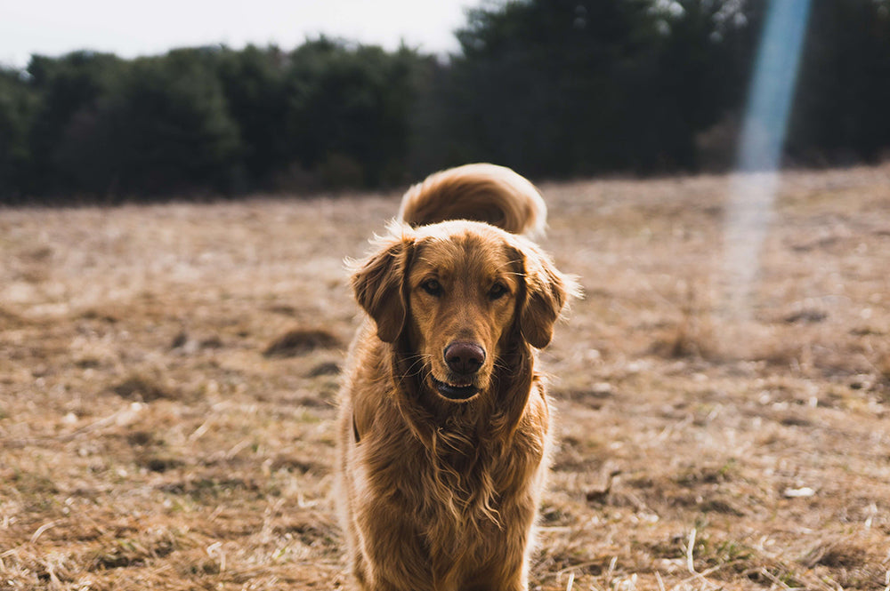 6 Ways To Save Your Dog From Heart Disease