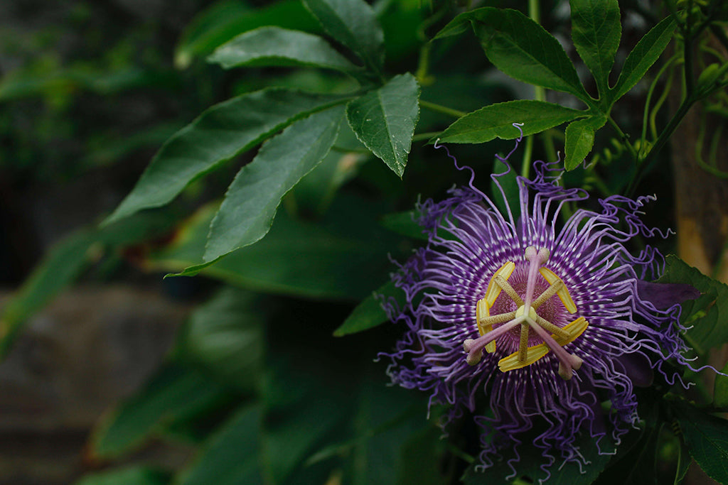passionflower-herb