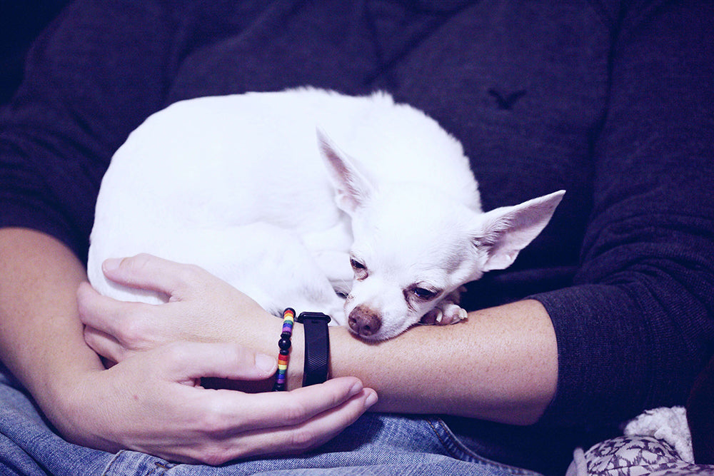 Small white dog in arms of owner