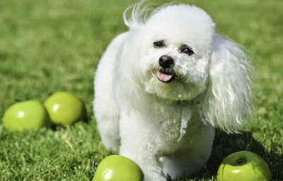 Can My Dog Eat Apples?